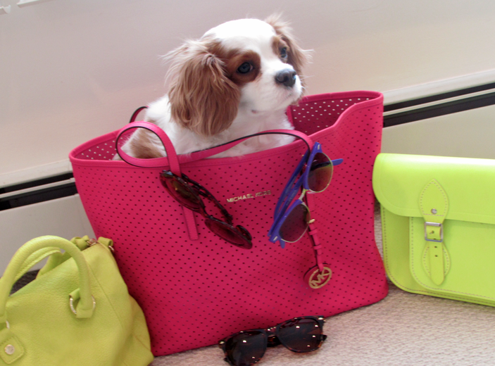 kingcharlescavalier michaelkors sunglasses hotpinktote neon neonhandbag sunnies dog pet cavalierkingcharles puppylove
