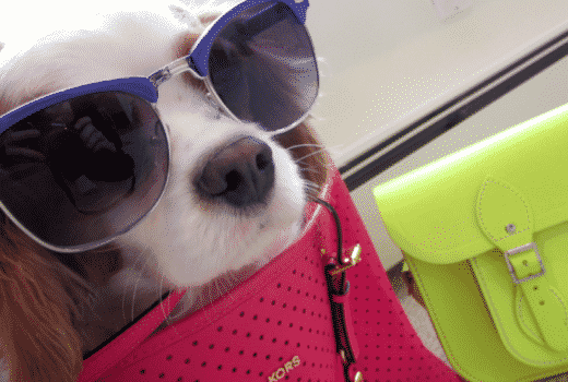 kingcharlescavalier michaelkors sunglasses hotpinktote neon neonhandbag sunnies dog pet cavalierkingcharles puppylove